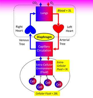 Circulatory Physiology - A Functional Model