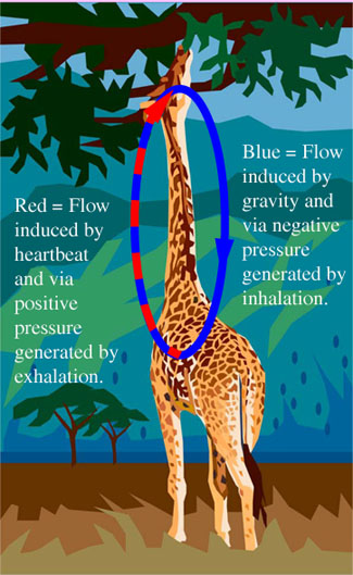giraffe circulatory physiology